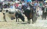 murgul özmal boğa güreşi festivali
