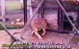 pit bull aslana saldırıyor