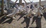 Ali Mum Güvercinleri İstanbul
