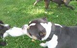 Pit Bull Terrier Vs Pit Bull Bully -- Kimbo Vs Jacson