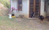 Köpeğin Aklını Alan Yavru Aslan