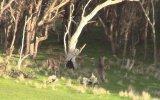 Kangurulardan Boks Gösterisi