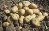 Patates Şarkısı