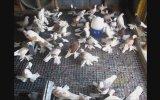Çok Paçalı Güvercinler ( Ali Mum )