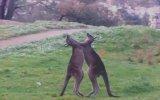 Kanguruların Boks Müsabakası