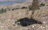 Adıyaman'da kurtların saldırdığı 29 keçi telef oldu