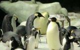 Mr. Popper\'s Penguins Kısa Klip
