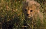 African Cats 5. Fragmanı