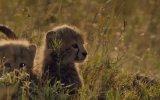 African Cats 6. Fragmanı
